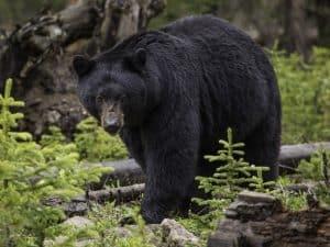 Montana Black Bear Hunting
