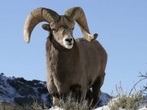 Bighorn Sheep Hunting in Montana