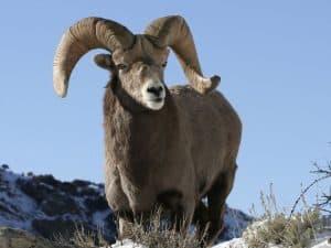 Bighorn Sheep Hunting in Montana