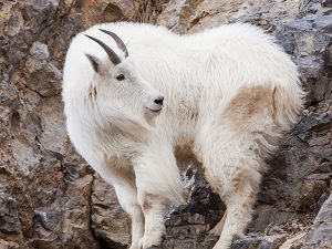Montana Mountain Goat Hunting