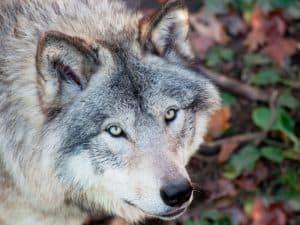 Montana Wolf Hunting